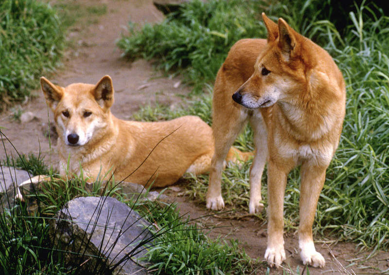 http://www.down-under-guide.com/uploads/0000/1127/dingo_huge.jpg